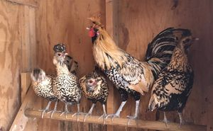 Cream Brabanter roosters for Sale in Pine City, NY