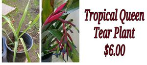 Tropical queen tear plant - last one for Sale in Hacienda Heights, CA
