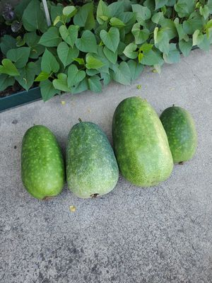 Fresh picked Home-grown Winter Melon (冬瓜) $1/lb. for Sale in San Lorenzo, CA