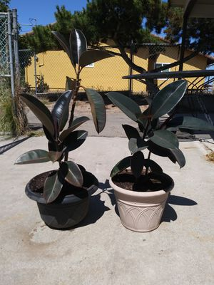 Rubber tree plants set for Sale in San Marcos, CA