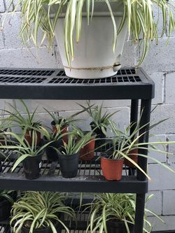 Spider Plants for Sale in La Mirada,  CA