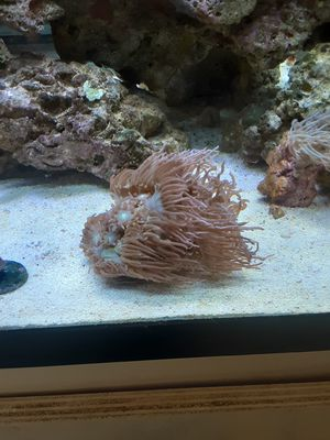 Ducan coral frags for Sale in West Palm Beach, FL