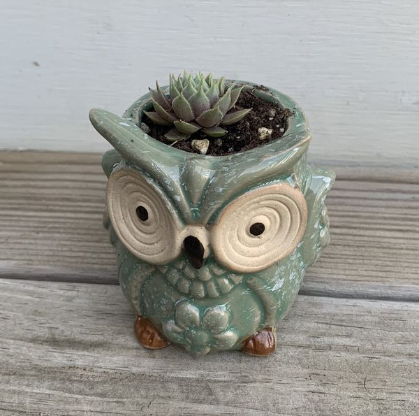 Live Succulent Owl Arrangements
