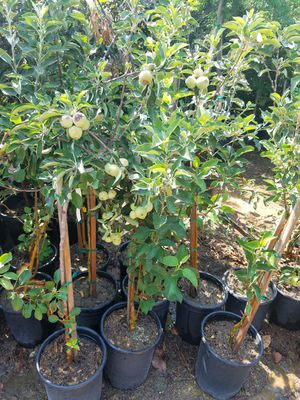 **GRAFTED- FRUITING AGE- GRAPE- BERRY- AND FRUIT TREES- 5G for Sale in Poway, CA