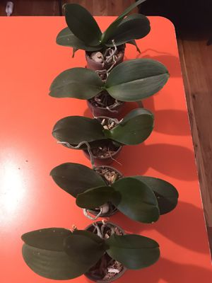 "Plants , Miniature Phalenopsis Orchids, small 5 pcs in clay pots 4"" for Sale in Brooklyn, NY"