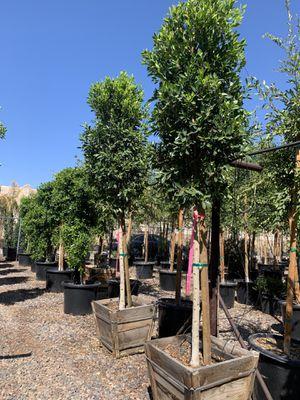 Indian laurel ficus trees for Sale in Gilbert, AZ
