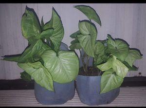 Arrowhead house plants for Sale in Eustis, FL