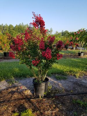 Crepe myrtle trees delivered and planted eight foot tall for Sale in Port Richey, FL