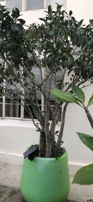 Rubber tree plant nearly 8 ft in pot for Sale in Los Angeles, CA
