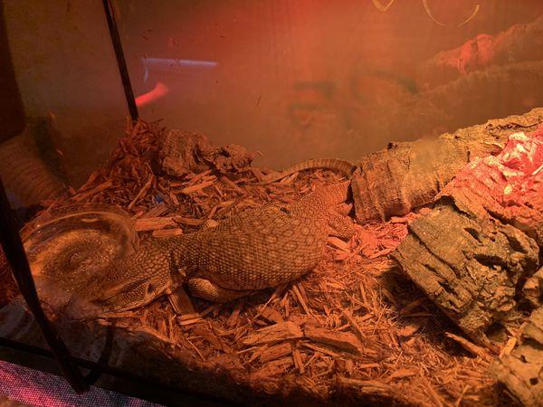Savannah monitor/ reptile/ animal pet