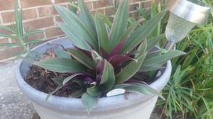 Oyster 'Moses-in-the-Cradle' Plant for Sale in Clinton, MD
