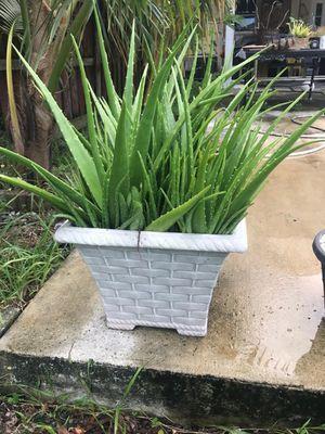 Aloe Vera Plant 🌱 for Sale in Miami, FL