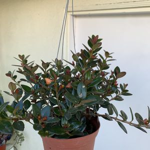 """Goldfish Plant In 6"""" Hanger Pot With Orange Flowers for Sale in Fountain Valley, CA"""