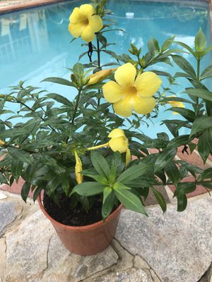 Golden Trumpet / Yellow Allamanda Plants for sale for Sale in Coral Springs, FL