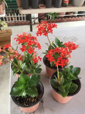 Kalanchoe plant for Sale in Fresno, CA