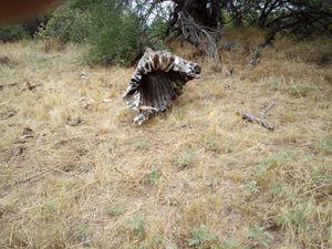 Cactus skeleton for Sale in Phoenix, AZ