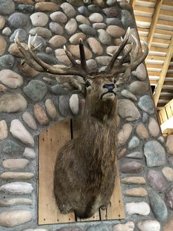Red Stag for Sale in Delaware,  OH