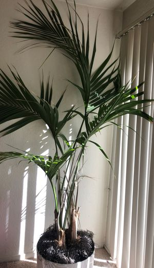 Palm with white pot for Sale in Scotts Valley, CA