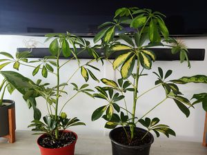 Variegated umbrella tree plants for Sale in Whittier, CA