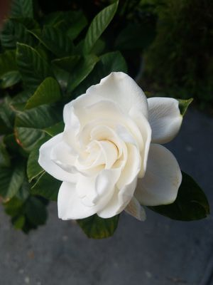 Gardenia plants species ! 10$ and up ! for Sale in Miami Springs, FL