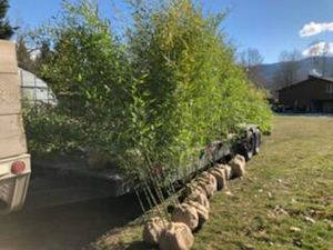 Bamboo Plants for Privacy ! for Sale in Snohomish, WA