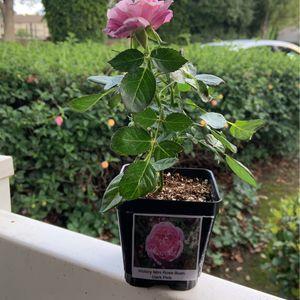 Dark Pink Victory Mini Rose Bush for Sale in Hacienda Heights, CA