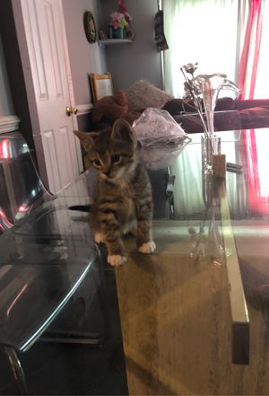 lil kitten need a home!!!!!!!! for Sale in Riverdale, MD
