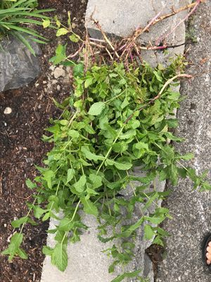 Free mint for Sale in Bothell, WA