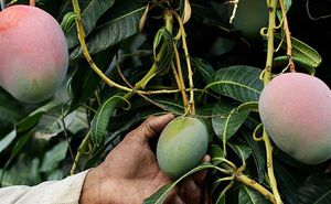 Mango plant/ mango Haden 🥭/ $10 each plant for Sale in Tampa, FL