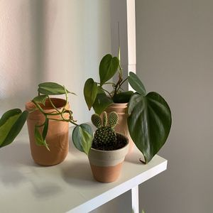 Rooted Starter Plants, Brasil Pothos,Heartleaf Philodendron , Yellow Bunny Ear Cactus for Sale in Los Angeles, CA