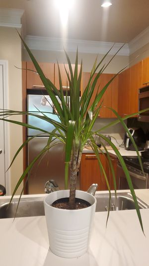 Dracaena Marginata Potted Plant... White Vase included! for Sale in Laurel, MD