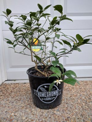 3 gallon Lemon MEYER Citrus plant ( WITH FRUITS) for Sale in Midlothian, VA