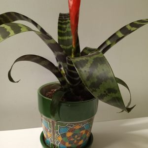 LIVE BROMELIAD PLANT. for Sale in North Las Vegas, NV