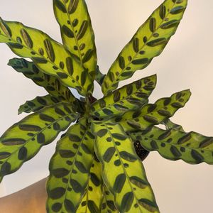 "Calathea Rattlesnake 6"" for Sale in Orlando, FL"