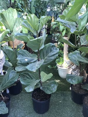 Plants (3ft tall x 3gallons pot, fiddle leaf $15) for Sale in Chula Vista, CA