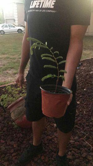 Tamarind plants for Sale in Orlando, FL