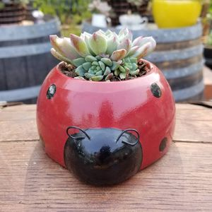 Succulent ladybug for Sale in Gilroy, CA