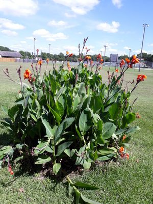 Free orange canna plants for Sale in Taylor, TX
