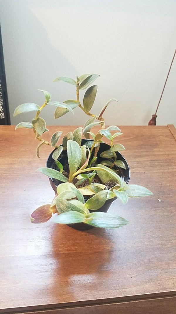 Teddy bear vine live plant