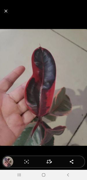 Ruby Ficus Elastica rubber plant for Sale in Temecula, CA