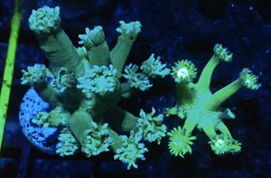 Neon Green Goniopora Frags for Sale in Hialeah, FL