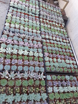 "2"" pots with succulent plants $1 each and $55 tray of 64 plants for Sale in Whittier, CA"