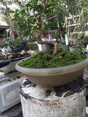 Golden gate ficus bonsai for Sale in KNGSLY LK, FL