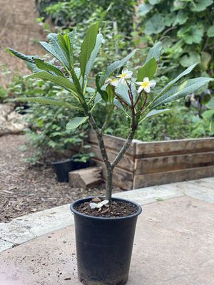 Rainbow plumeria plant for Sale in Corona, CA