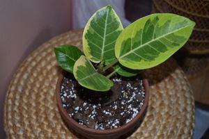 Variegated Ficus Altissima for Sale in Durham, NC