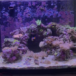 Live Coral frag ( salt water coral, reef coral ) for Sale in Tamarac, FL