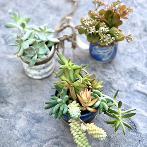 JAM Succulents for Sale in Cypress, CA