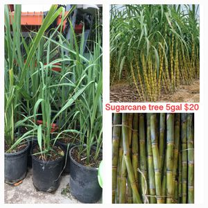 Sugarcane Plant for Sale in Highland, CA