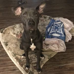 FREE Great Dane Mix pit bull for Sale in Oklahoma City, OK