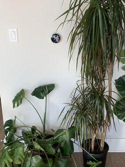 3 Healthy Plants for $150 Total for Sale in Phoenix,  AZ